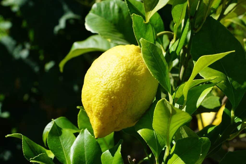 Citronovník - léčebné účinky