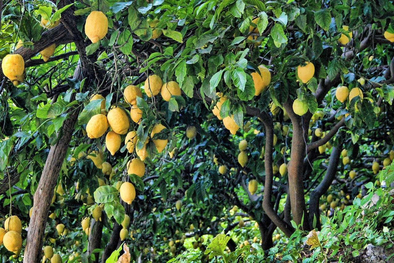 Citronovník – léčebné účinky